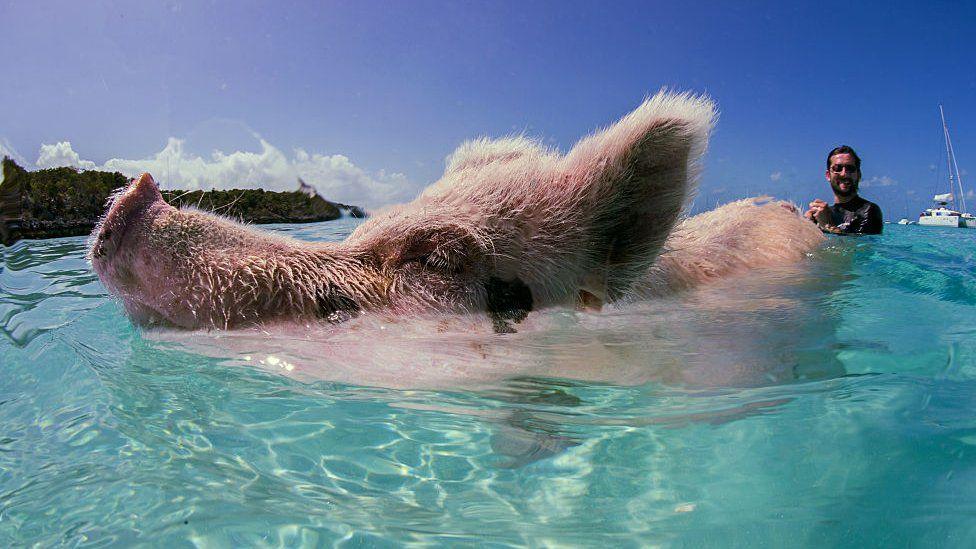 A swimming pig at Big Major Cay, Bahamas