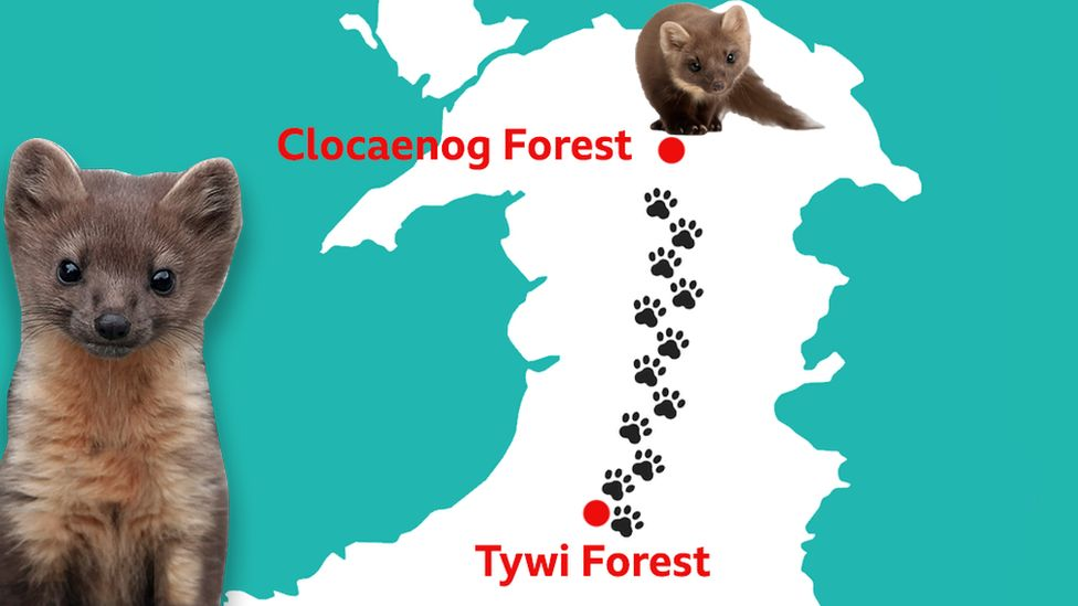 A graphic showing the journey taken by number three the pine marten