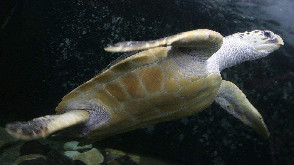 A leatherback turtle