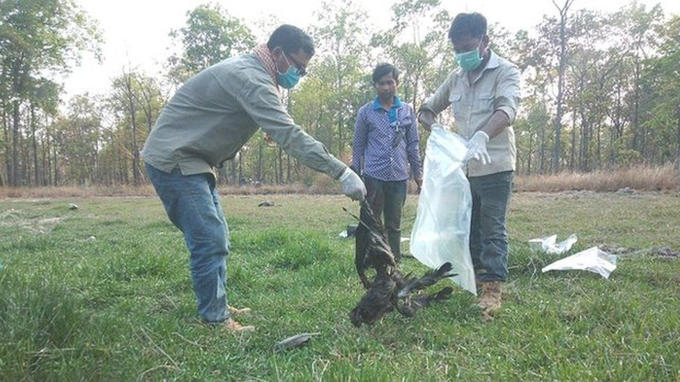 Three giant ibis were poisoned