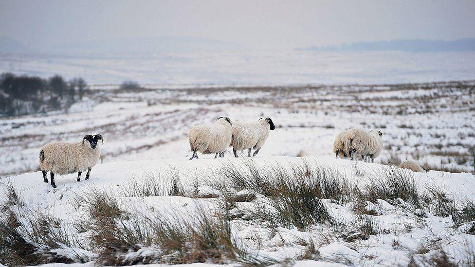 Luss sheep