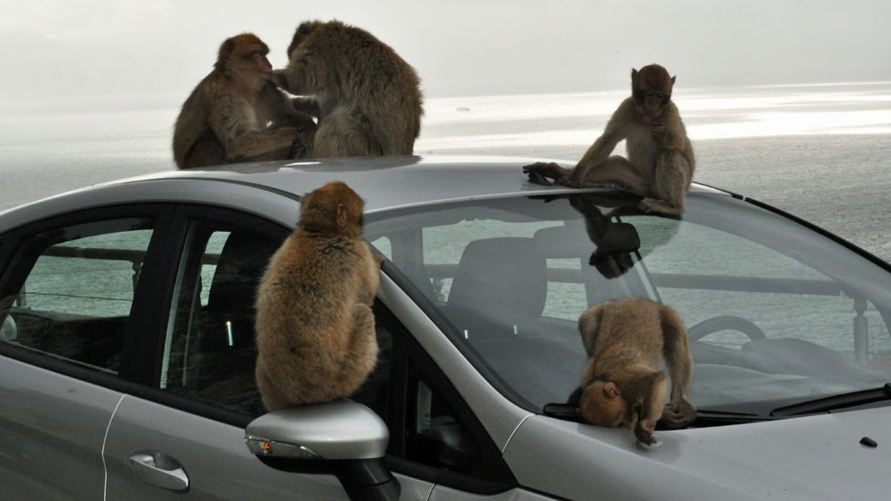 Macaque monkeys on a car in Gibraltar