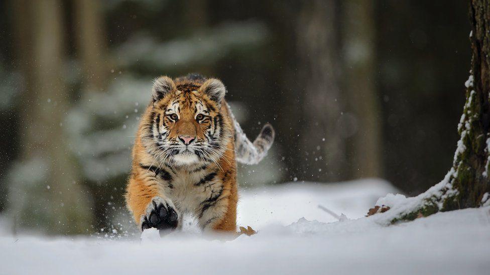 Амурский тигр в снегу