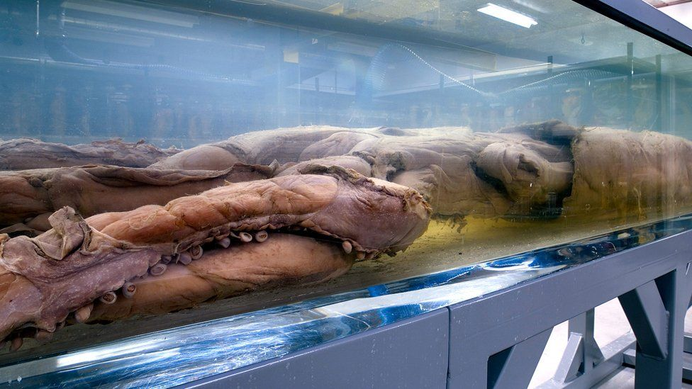 Giant squid in the Natural History Museum
