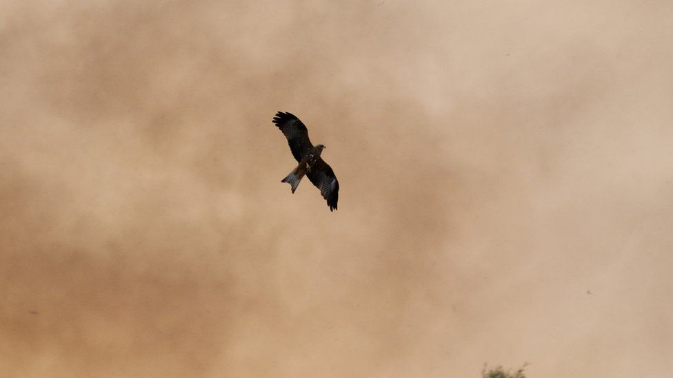 A black kite hunting on the outskirts of a bushfire in Queensland