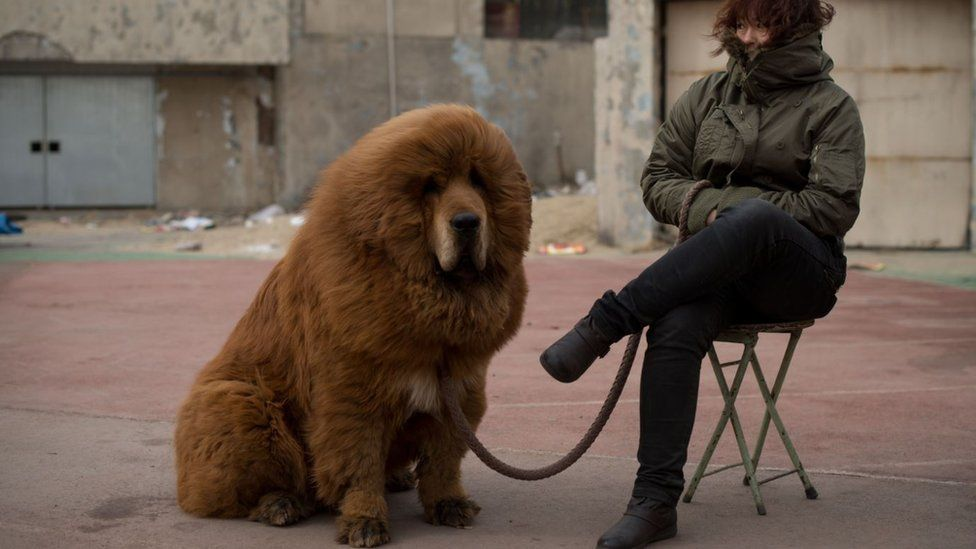 A Tibetan mastiff dog is displayed for sale at a mastiff show in Baoding, Hebei province