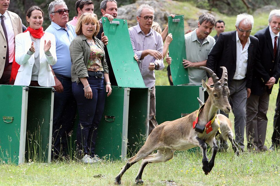 Spanish ibex released in Cauterets, France, 19 Jul 14