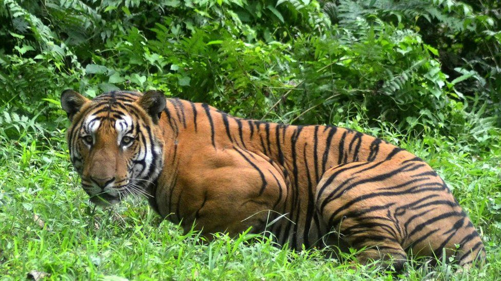 A tiger in a national park in India