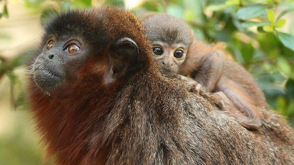 Xenothrix's close relative, the titi monkey