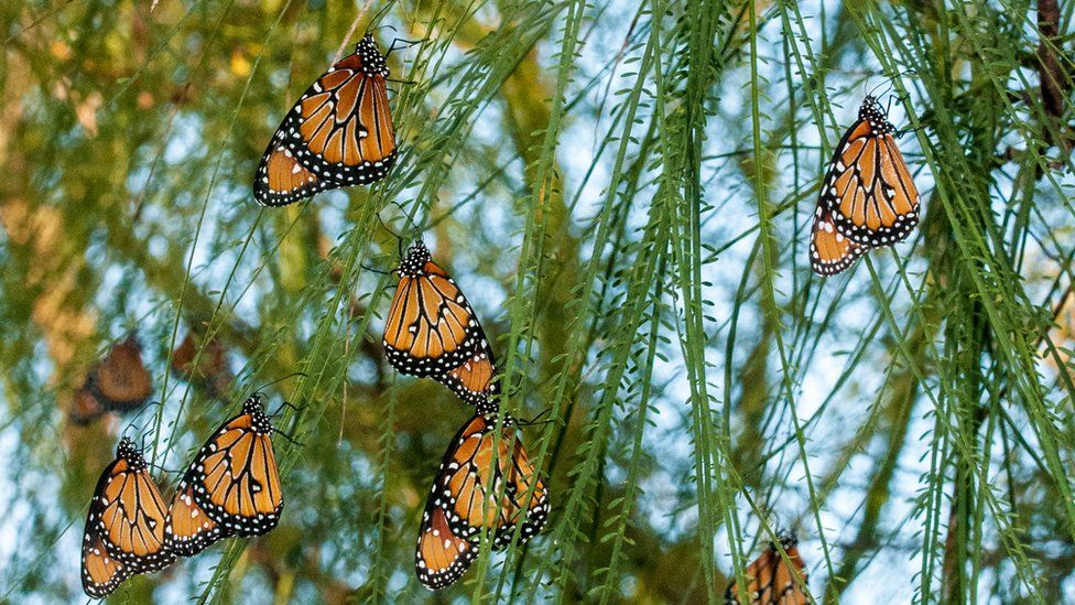 Butterflies hang on vines