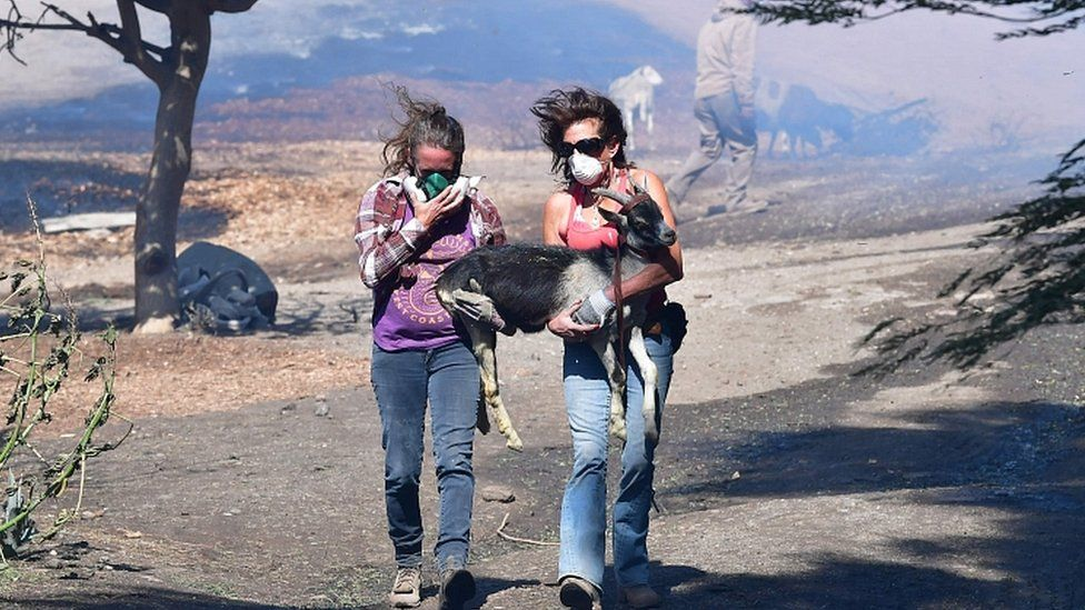 Robyn Phipps (L) and Laura Horvitz help rescue a goat from a ranch near the Ronald Reagan Presidential Library in Simi Valley during the Easy Fire in Simi Valley, California on October 30, 2019