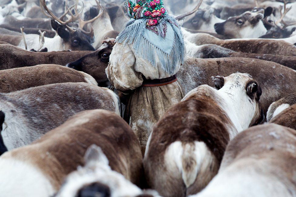 A young Nenets woman gathers the reindeer before migration. Yamal Peninsula, Siberia, Russia.