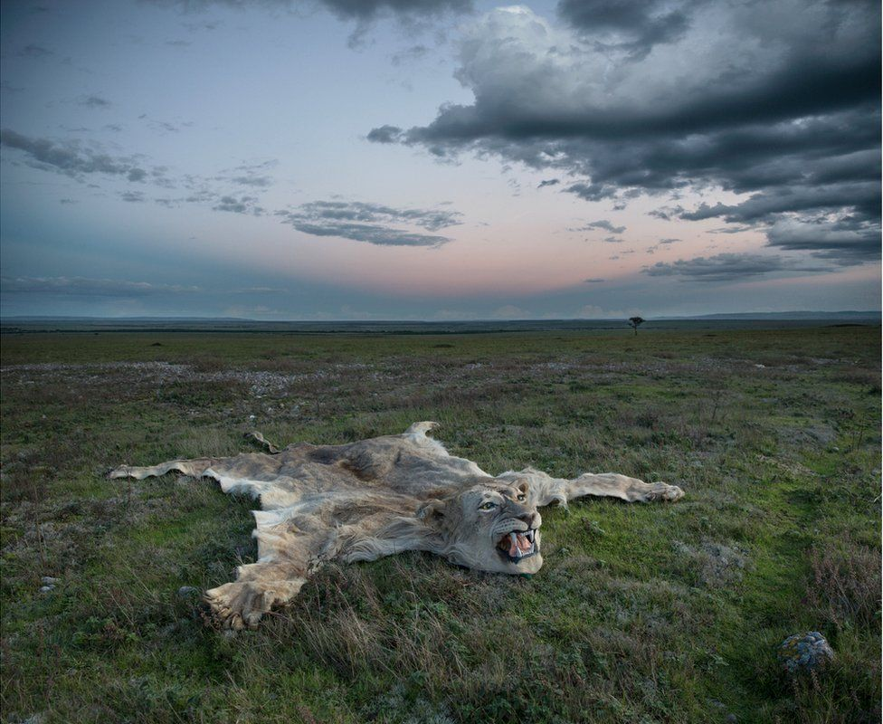 An abstract image of a lion skin rug on the ground in the middle of an African landscape