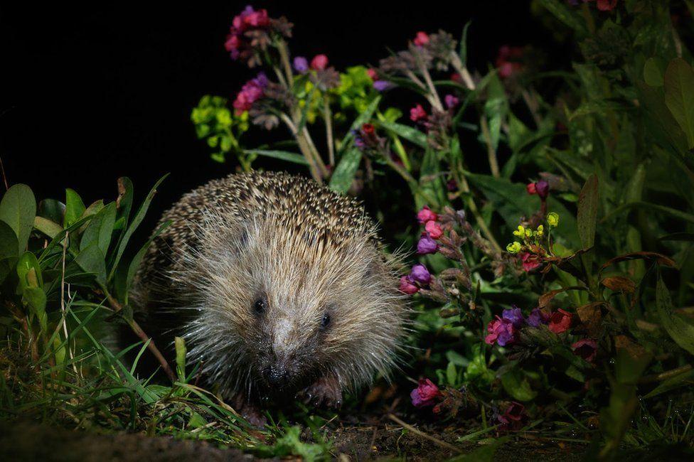 A hedgehog seen in a garden in Amersham, England