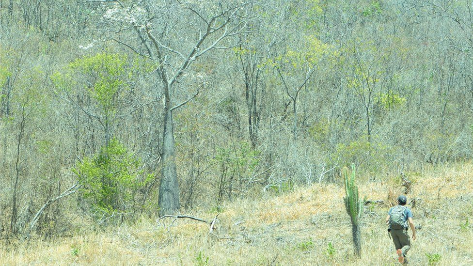 Caatinga dry tropical forests - the largest continuous example of this habitat in Latin America (Image: RT Pennington)
