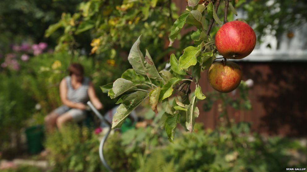 Apples ripening in a Berlin allotment garden