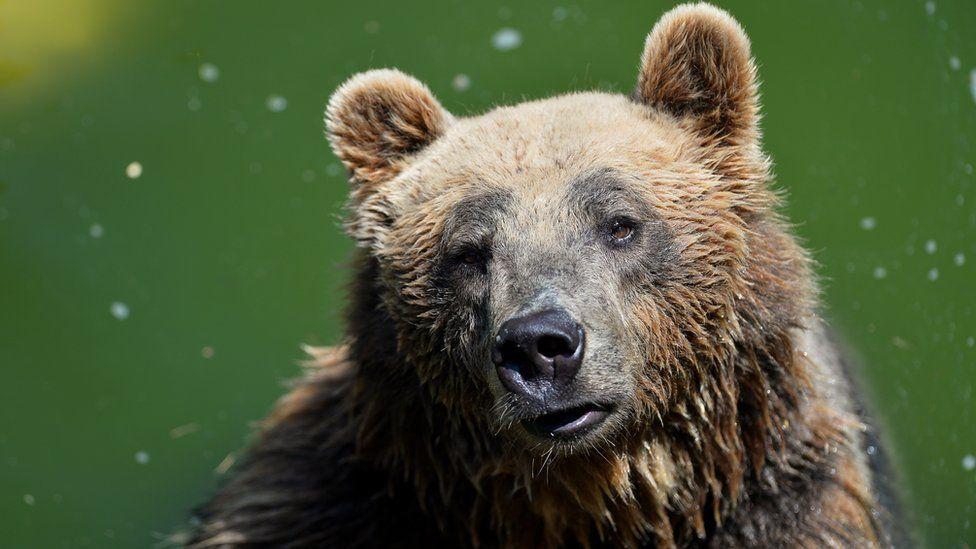 A bear in Rome in July 2015