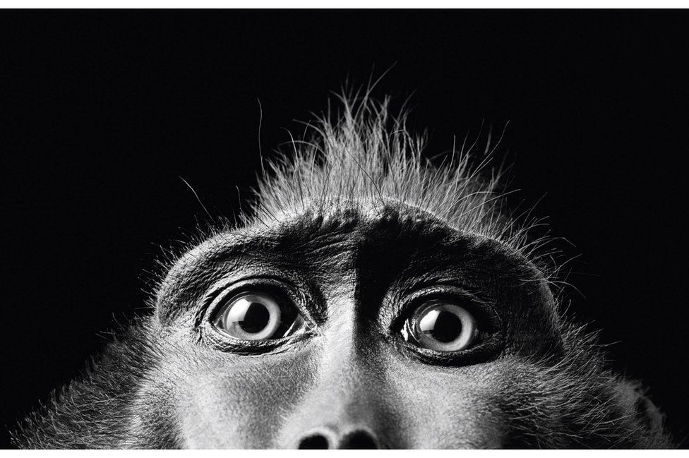 A monkey looking down the lens of the camera at photographer, Tim Flach. (Monkey Eyes, 2001)