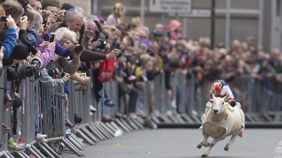 Sheep racing