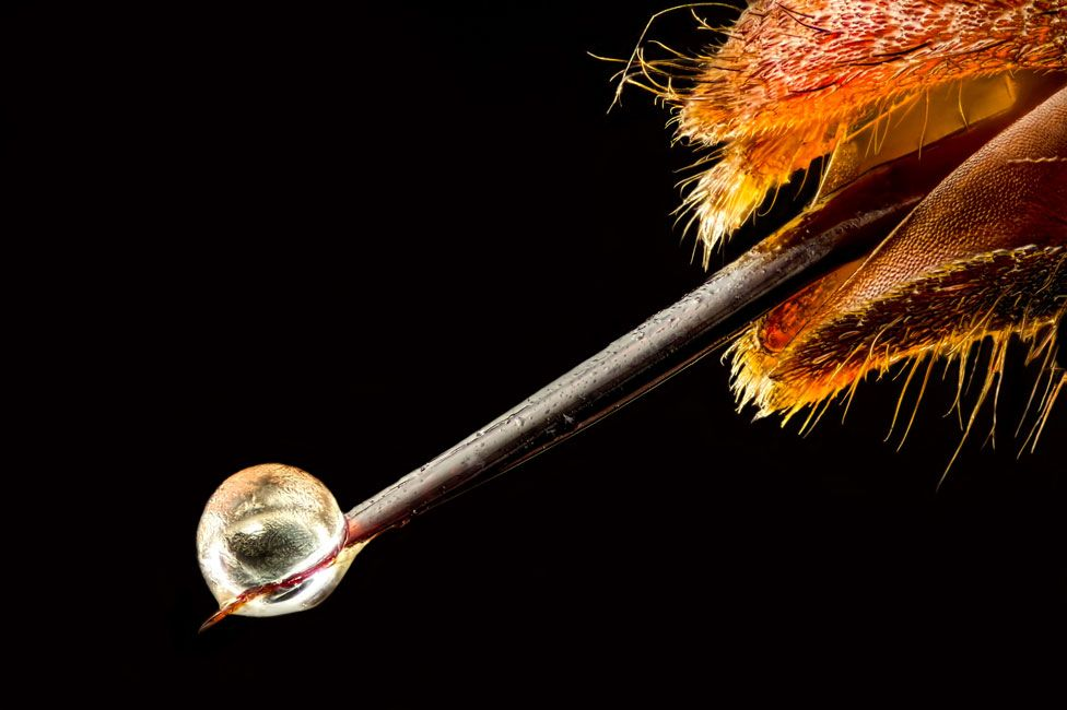 El aguijón de una avispa asiática (Vespa velutina) con veneno en la punta