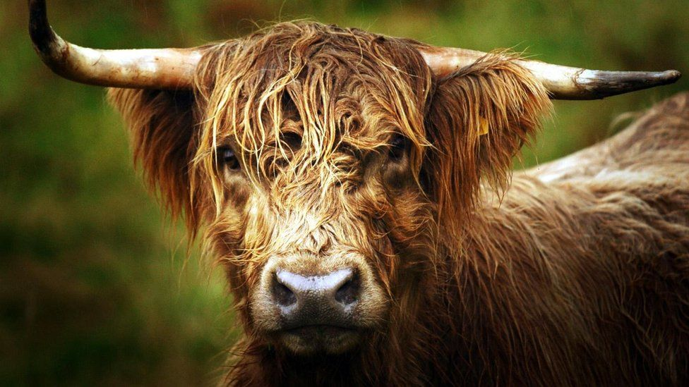 Highland cattle generic