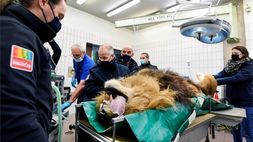 Lion on operating table with tongue hanging out