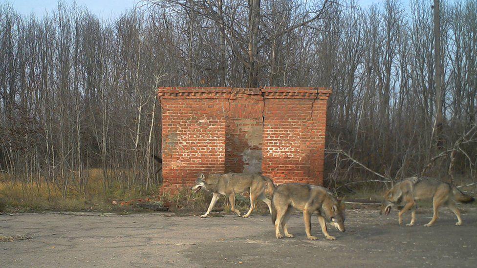 Волки — одни из хозяев зоны. Фото с сайта ВВС News Украина