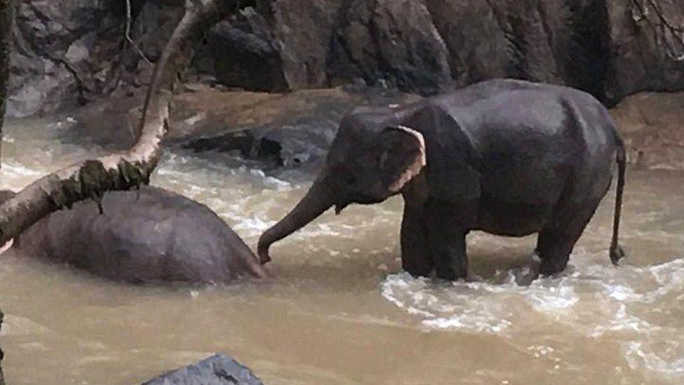 Сотни слонов в Ботсване стали жертвами микроскопических водорослей.