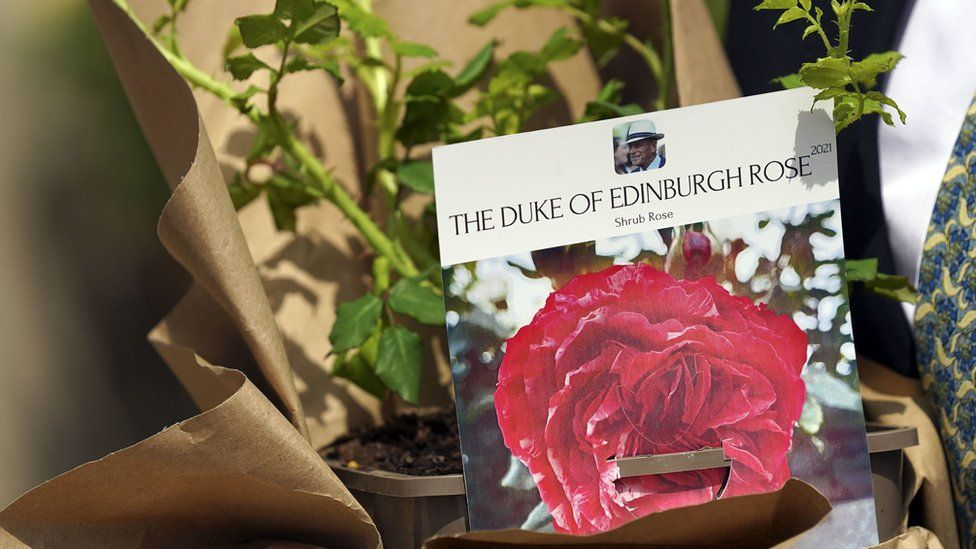 Close up of the picture of the rose attached to the plant