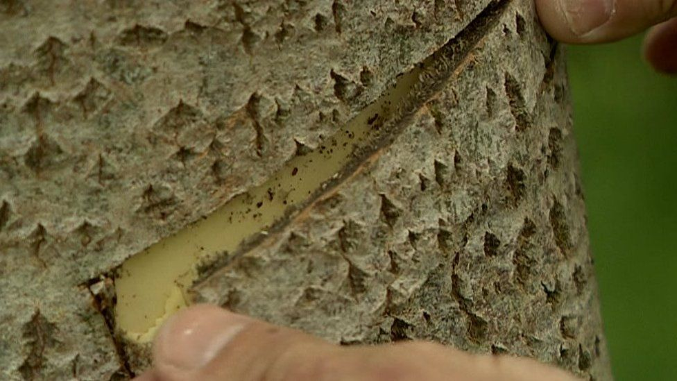 Bark strip being removed from an aspen tree