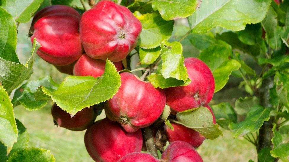 Bloody Ploughman apples