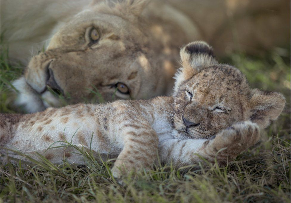 A lioness sleeps with her cub
