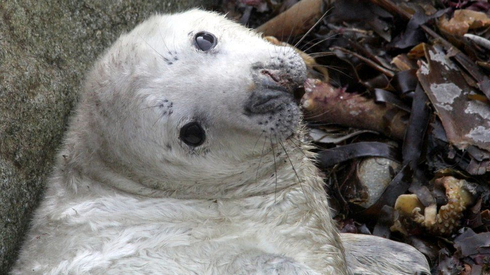 A surviving seal on Ramsey Island