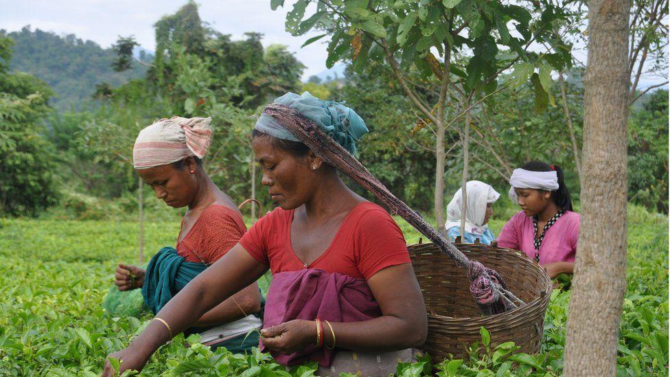 Women picking tea in Assam
