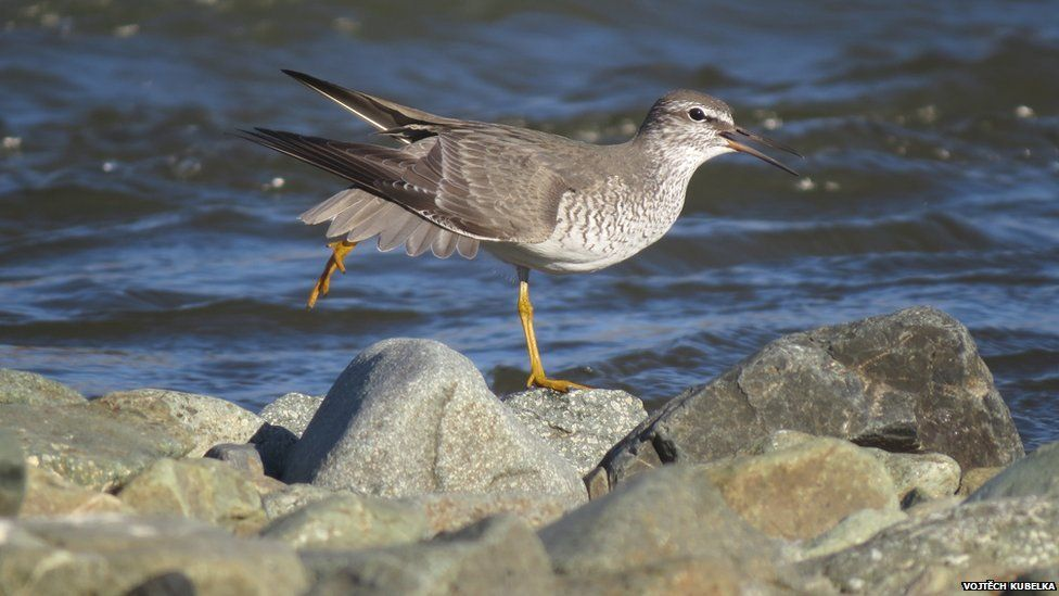 Grey-tailed tattler in the Arctic stretching before migration