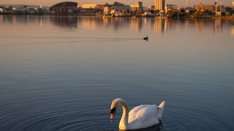 Swan on Cardiff Bay waters