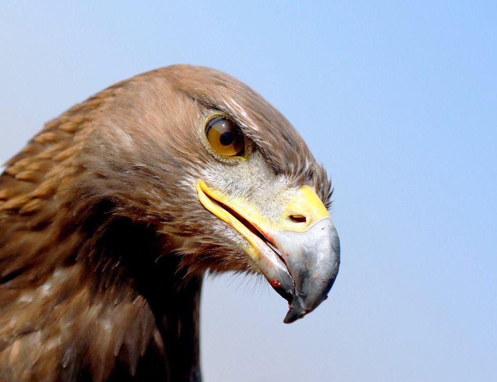 A Golden Eagle at Borg al-Arab desert in Alexandria, Egypt, November 17, 2018