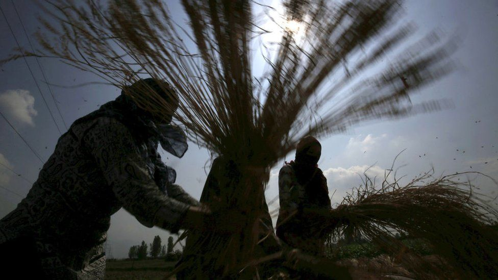Farmers thresh paddy, separating grain from chaff, during the harvest season on October 2, 2019 on the outskirts of Srinagar, India.