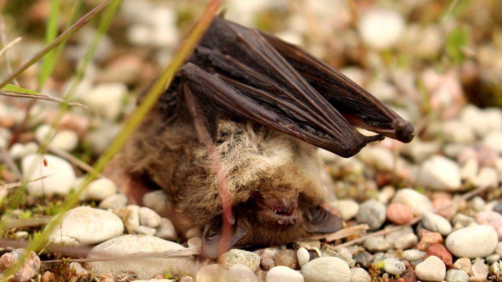 Bat carcass