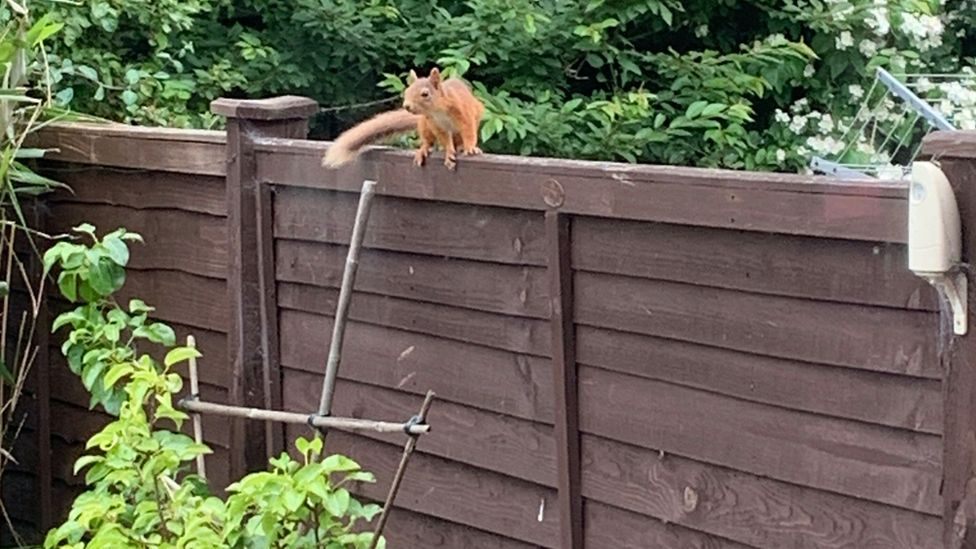 Aberdeen red squirrel sighting is 'city's closest' in decades