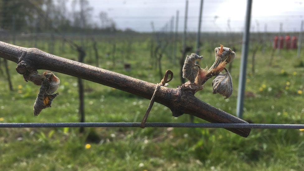 A damaged bud at the Albury Vineyard in Surrey