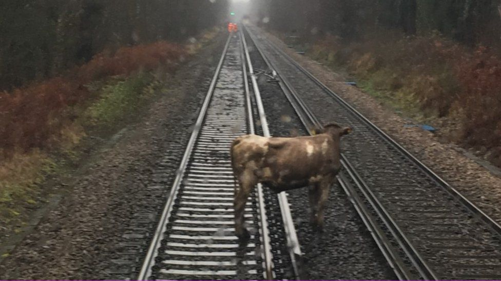 Cow on rail line between Southampton and Brockenhurst
