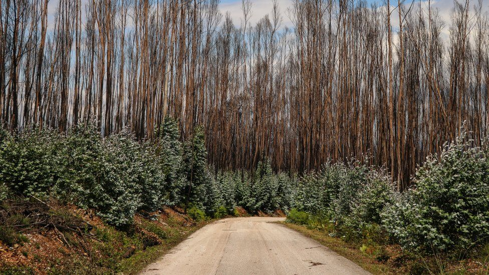 New government rules say 10m into the side of the roads should be clear of vegetation, but young eucalyptus are growing at a fast pace
