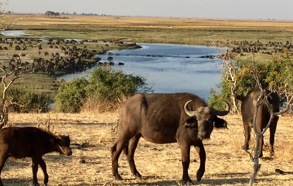 Cape Buffalo cross the Chobe River from Botswana into Namibia where hunters are waiting