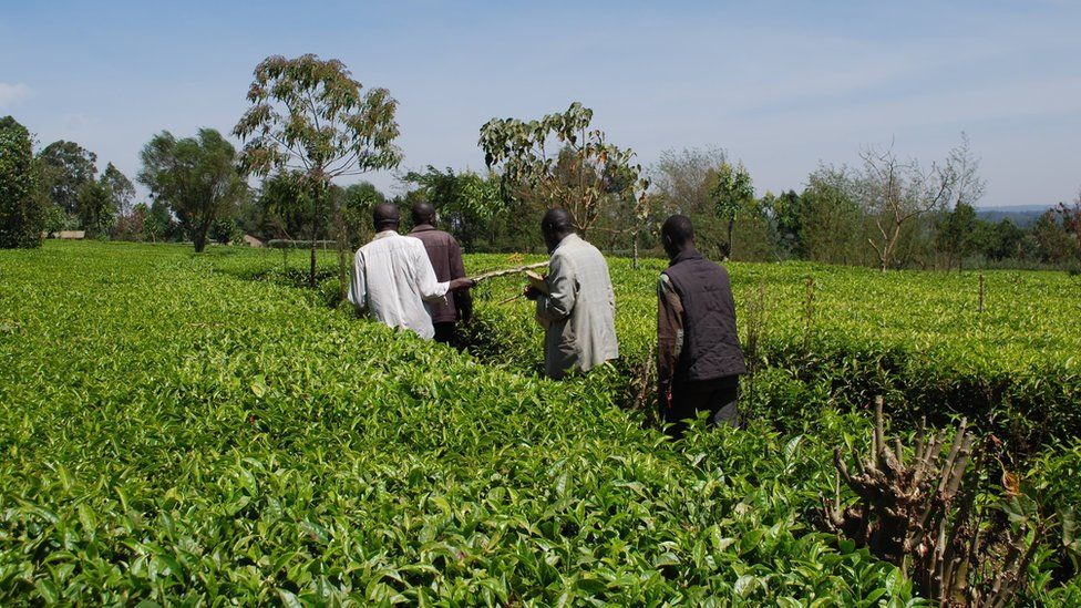 Farmers in tea plantation