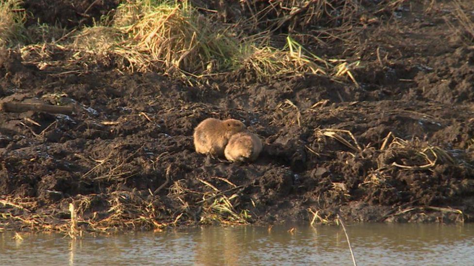 Beavers at Mytishchi, Moscow