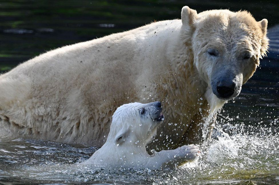 A polar bear and cub splash around in water