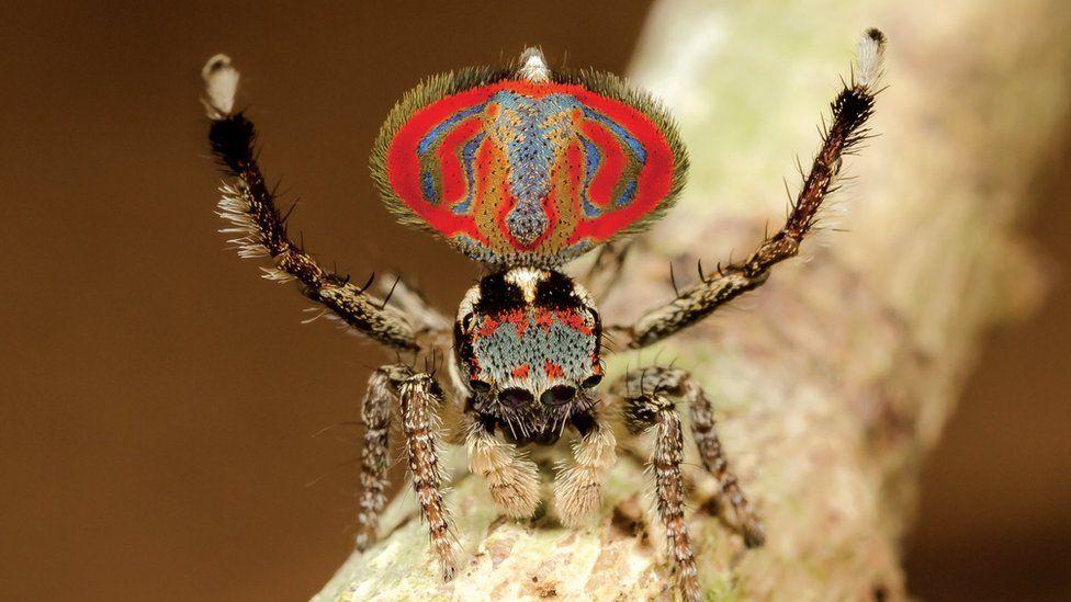 Resultado de imagen para Las aterradoras arañas australianas que asustan pero no hacen daño