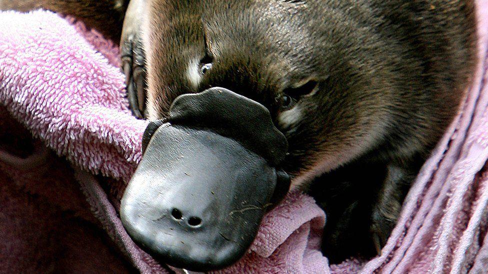 A baby platypus