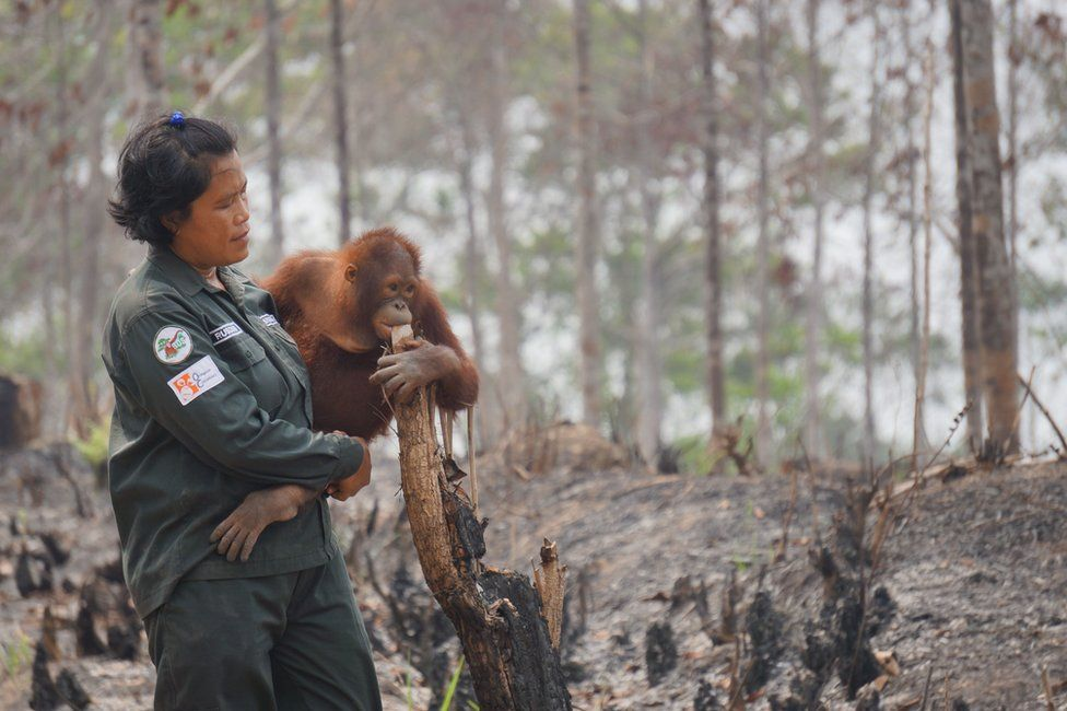 """This handout photo taken on 1 October 2015 and released on 9 October 2015 by the Borneo Orangutan Survival Foundation shows babysitter Rusdiani (L) holding baby orangutan Sali in the remaining area once called """"the Arboretum"""", a 159-hectare bit of land planted with various species of trees for the purpose of research and preservation at the Samboja Lestari Orangutan Reintroduction Program in Samboja, in Indonesia's East Kalimantan."""